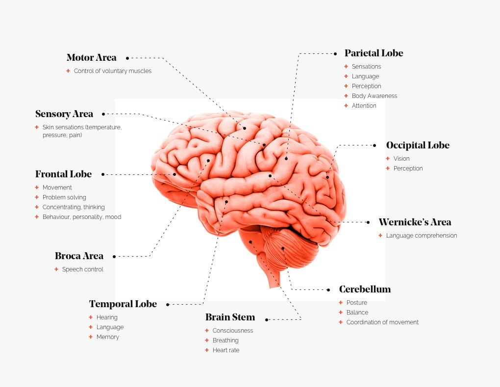 Human Brain Function - Quick Guide to The Human Brain - Human Architecture